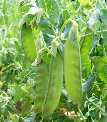 BIO hrach cukrový Sweet Horizon - extra sladká odroda - Pisum sativum - bio semená - 10 g
