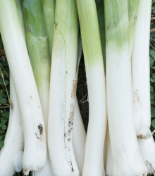 BIO Pór zimný Hannibal - Allium porum - bio semená - 0,1 g