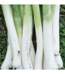 BIO pór zimný Hannibal - Allium porum - bio semená póru - 0,1 g