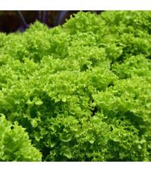 BIO šalát listový kučeravý Lollo Bionda - Lactuca sativa - bio semená šalátu - 0,1 g