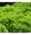 BIO Šalát listový kučeravý Lollo Bionda - Lactusa sativa - bio semená - 0,1 g