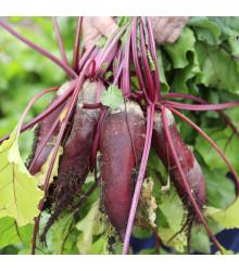 Cvikla valcovitá Forono - Beta vulgaris - semená repy - semiačka - 160 ks