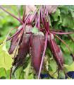 Cvikla Forono - červená repa - Beta vulgaris - semená - 160 ks
