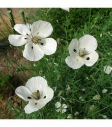 Mak bielokvetý - Papaver maculosum - semená - 100 ks