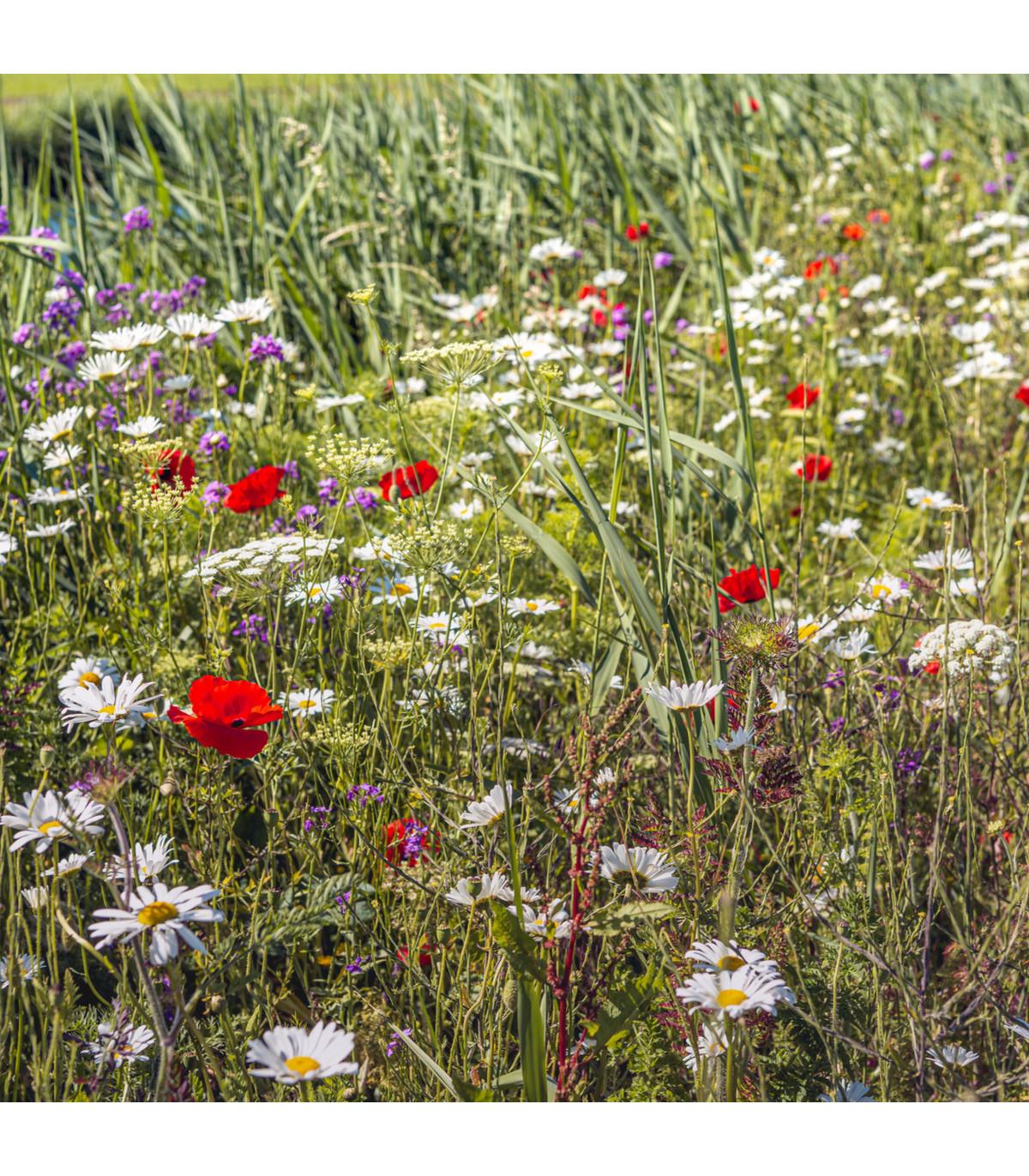 Lúčne kvety pre obohatenie porastu - semená - 50 g