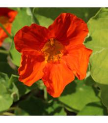 Kapucínka Jewel Cherry Rose - Tropaeolum Minus - semená - 10 ks
