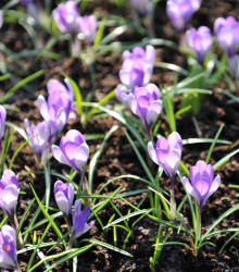 More about Krókus Yalta - Crocus sativus - cibuľoviny - 3 ks
