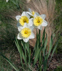 More about Narcis Ice Follies - Narcissus L. - cibuľoviny - 3 ks