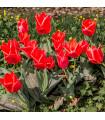 Tulipán Oriental Beauty - Tulipa - cibuľoviny - 3 ks