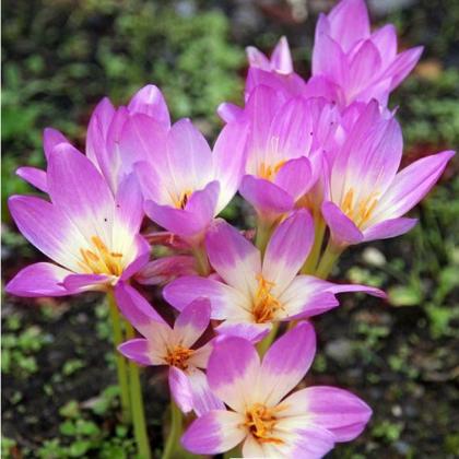 Jesienka Lilac Wonder - Colchium - cibuľoviny - 1 ks