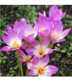 Jesienka Lilac Wonder - Colchicum - cibuľoviny - 1 ks