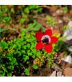 Veternica Hollandia - Anemone - cibuľoviny - 3 ks