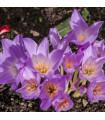 Jesienka - Colchium giant - cibule - cibuľky - 1 ks