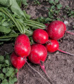 BIO Reďkovka červená Sora - Raphanus sativus - BIO semená - 40 ks