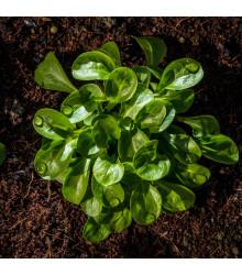 BIO Valeriánka poľná - Vallerianella locusta - polníček - bio semená - 100 ks