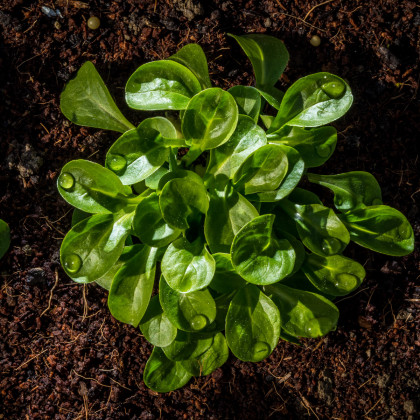 BIO valeriánka poľná - Vallerianella locusta - polníček - bio semená valeriánky - 100 ks