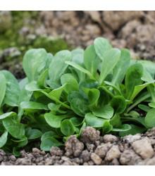 BIO valeriánka poľná Verte de Cambrai - Vallerianella locusta - polníček - bio semená valeriánky - 150 ks