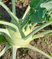 BIO Kaleráb obrí Superschmelz - Brassica oleracea - bio semená - 50 ks