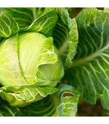 BIO Kapusta biela Filderkraut - Brassica oleracea - BIO semená - 50 ks