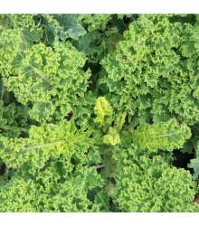 BIO Kel kučeravý Lerchenzungen - Brassica oleracea L. - BIO semená - 150 ks