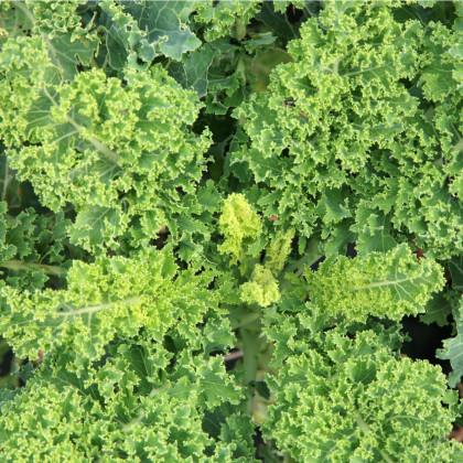 Kel kučeravý Lerchenzungen - Brassica oleracea L. - BIO semená - 150 ks