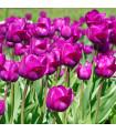 Tulipán Negrita - Tulipa - cibuľoviny - 3 ks