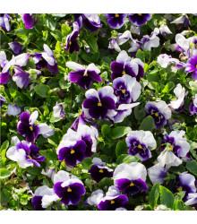 Sirôtka Hiemalis modrobiela - Viola wittrockiana - semená - 0,3 g