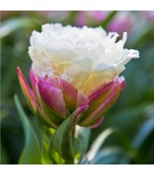 Tulipán Ice Cream - Tulipa - cibuľoviny - 3 ks