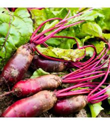 BIO cvikla šalátová Forono - červená repa - Beta vulgaris - bio semená - 100 ks