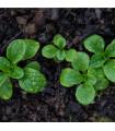BIO Valeriánka poľná Elan - Vallerianella locusta - bio semená - 100 ks