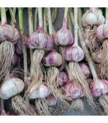 Sadbový cesnak Topaz - paličiak - Allium sativum - cibuľky - 5 ks