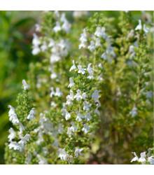 Saturejka horská Bolero - Satureja montana - semená - 0,3 g