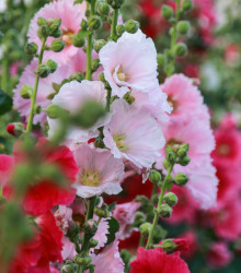 Topoľovka plnokvetá Chaters mix farieb - Alcea rosea - semená - 12 ks