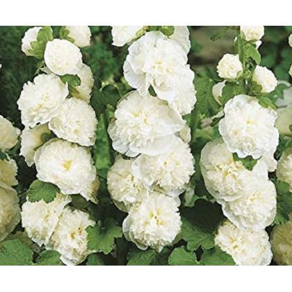 Topoľovka plnokvetá biela Chaters - Alcea rosea - semená - 12 ks