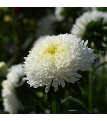 Astra čínska vysoká Princess biela - Callistephus chinensis - semená - 50 ks