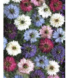 Černuška damascénska - Nigella damascena - semená - 25 ks - zmes farieb