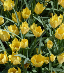 More about Tulipán Batalinii Bright Gem - Tulipa - cibuľoviny - 3 ks