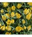 Tulipán Batalinii Bright Gem - Tulipa - cibuľoviny - 3 ks