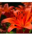 Ľalia ázijská Forever summer - Lilium - cibuľoviny - 1 ks