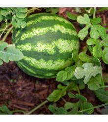 Melón vodový Primaorange F1 - Citrullus lanatus - semená - 7 ks
