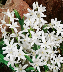 Modravka žiarivá biela - Chionodoxa luciliae alba - cibuľoviny - 5 ks