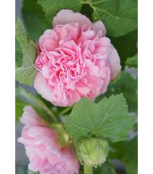 Topoľovka ružová Chaters - Alcea rosea - semená - 7 ks