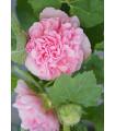Topoľovka ružová Sawyers - Alcea rosea - semená - 7 ks