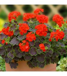 Muškát pásikavý Nekita F1 Scarlet - Pelargonium zonale - semená - 4 ks