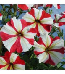Petúnia mnohokvetá Henrietta F1 - Petunia hybrida - semená - 30 ks