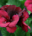Muškát pásikavý Black Velvet Violet F1 - Pelargonium zonale - semená - 6 ks