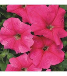 Petúnia mnohokvetá Rita F1 - Petunia hybrida - semená - 30 ks