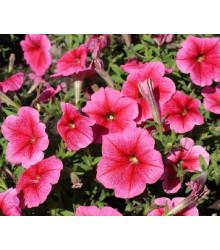 Petúnia mnohokvetá Claudia F1 - Petunia hybrida - semená - 30 ks