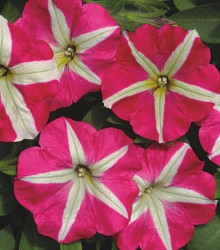 Petúnia mnohokvetá Belinda F1 - Petunia hybrida - semená - 30 ks
