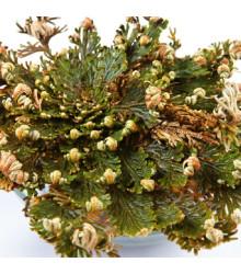 Ruža z Jericha - plavúnka schúlená - Selaginella lepidophylla - cibuľoviny - 1 ks